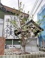 建築部の桜
